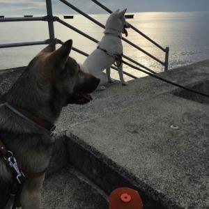 散歩15頭引きにみる紀州犬の目指すべき方向