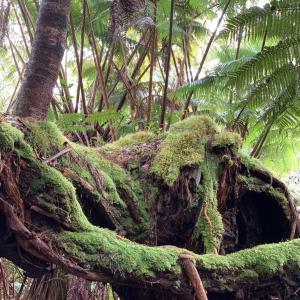 ハワイ島の森に宿る神々