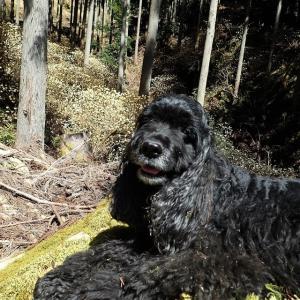 のあ、ミツマタの森を歩く。