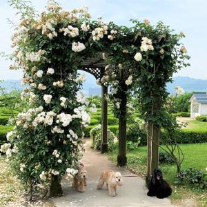 のあ、バラの香りに包まれる。