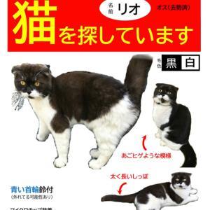 【迷子猫】海老名市中新田より迷子のスコティッシュを探しています【捜索中】