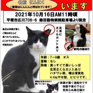 【緊急・拡散希望】迷子猫 黒白 ハチワレ 神奈川県 平塚市 広川【迷子猫】