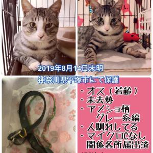 迷子猫 保護しています 平塚 アメショ柄 オス 迷い猫