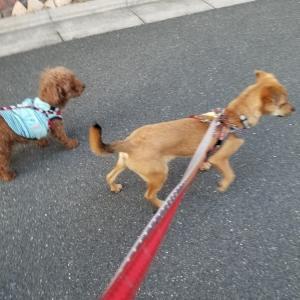 エール君、お散歩練習頑張ってます♪