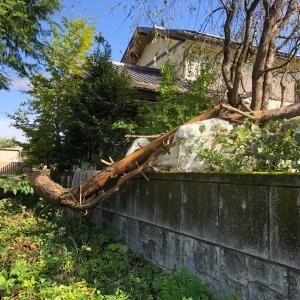 【台風影響】日光市小代落合中学校前松の木が隣に倒れて伐採