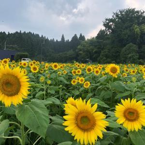 【向日葵】癒される花浄化槽保守点検の帰り、いずみネットワーク