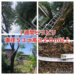 【超緊張】なんと直径53㎝高さ20m以上の桜の木伐採で超神経集中の1週間