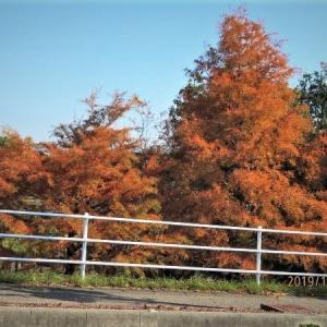 デンパークのメタセコイア並木