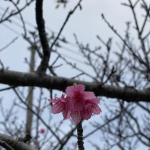沖縄は桜が咲き始めました!