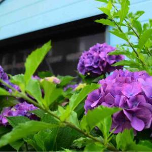 自宅の紫陽花たち