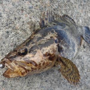 能登島の護岸でタケノコメバルの雌(メス)に出会ったが・・・