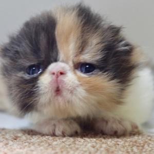 可愛い〜子猫❤(エキゾ)