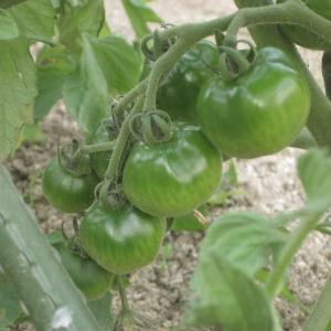 トマト大きく