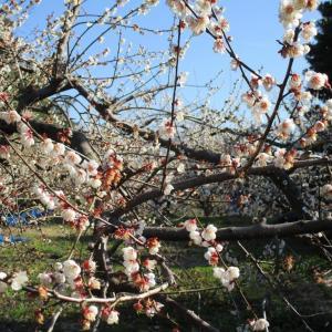 梅満開春が来てますよ。