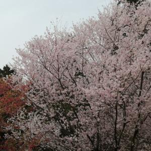 桜が開花、石山寺