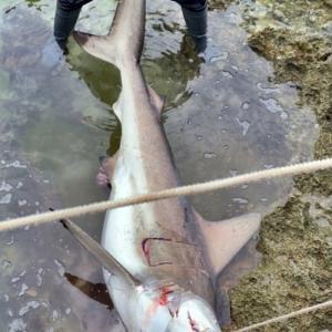 サメに喰われたシマノ イソリミテッドタモの柄