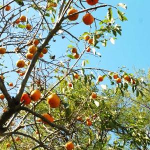 柿の木の実 生りてた