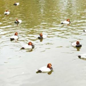 池にマガモ