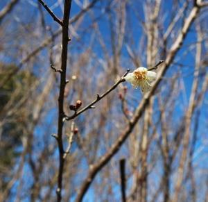 冬に白梅の花一輪咲く