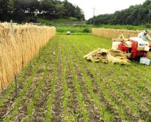 稲穂の脱穀