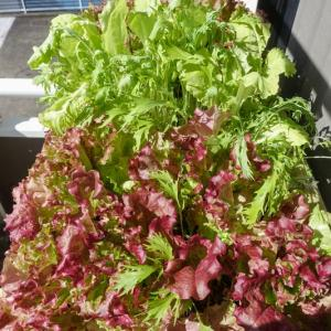 ベランダ菜園 / サラダ畑はとても便利。小松菜の種まき