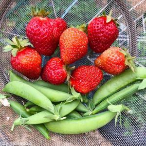 今日の畑 /  枝豆は全て発芽して一安心 夏野菜も無事に成長中 イチゴとスナックエンドウの収穫