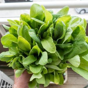 ベランダ菜園 / プランターの小松菜が花芽をつけ始めた!そろそろ終了して夏野菜を植えよう!