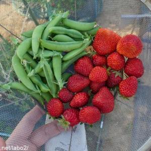今日の畑 / 暑い!もうほぼ夏!イチゴとスナックエンドウの収穫