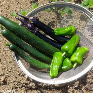 今日の畑 / あ、実はショウガは芽を出していた!?夏野菜もキュウリ、長ナス、ピーマンがたくさん採れました。