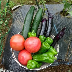 今日の畑 / 夏野菜フィーバーが始まった!大玉トマトの初収穫。巨大キュウリ、巨大長ナス、巨大ピーマン、、早く梅雨があけないかな