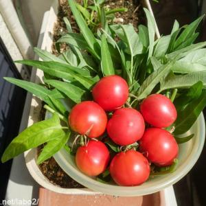 ベランダ菜園 / 脇芽から育てたトマトがプランターで出来た!意外とおいしい