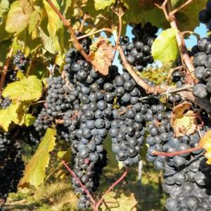 ワイン用の葡萄の美味しさ。
