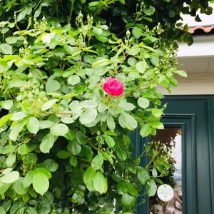 薔薇が咲きました