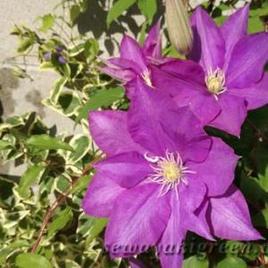 ウグイスの声が響くこの頃、クレマチスの花も開花