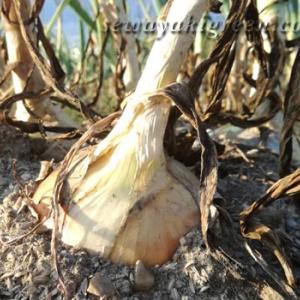 畑で収穫した玉ねぎがつなぐ幸せのループ