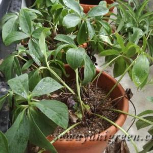 夏のクリスマスローズ、小さな鉢植えの苦悩