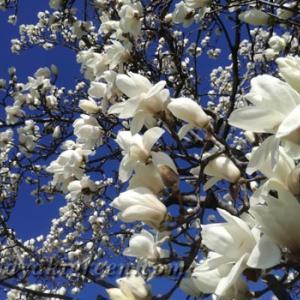 桜より一足先に春をつげる花、白木蓮
