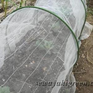 これも無農薬栽培の定め、キャベツを監視する怪しい人影