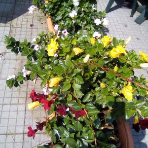 街中で鮮やかな色の夏の花咲くプランター☆