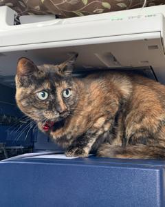 新入り猫リコのこと⑤ わが家のガールズの今 先住猫の災難
