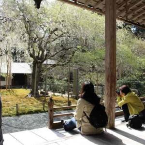 常照皇寺の九重桜・左近の桜・御車返の桜【アクセス・駐車場】