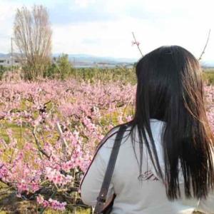 桃源郷【アクセス・駐車場】開花!ひと目十万本の桃畑