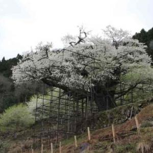 樽見の大桜【仙桜】樹齢1000年の貫禄【アクセス・駐車場】