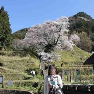 佛隆寺の千年桜【アクセス・駐車場・御朱印】樹齢900年の名桜