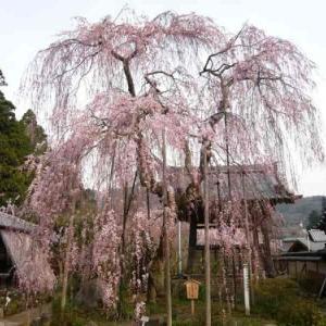 大野寺~樹齢300年の小糸しだれ桜【アクセス・駐車場・御朱印】