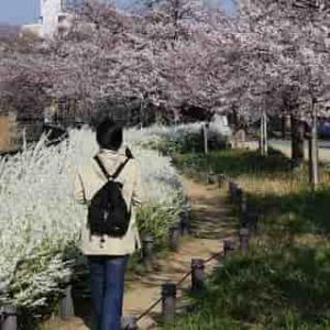 万代池公園【桜】咲き誇る優美な桜並木【アクセス・駐車場】