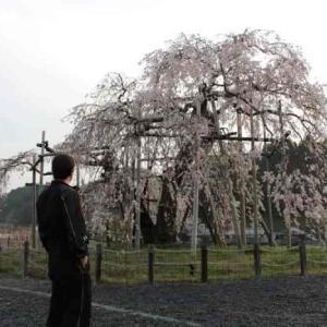 畑のしだれ桜【アクセス・駐車場】枯死から蘇った樹齢400年の名桜