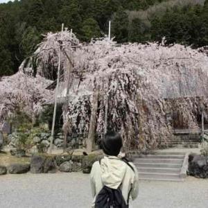 宝蔵寺の枝垂れ桜【アクセス・駐車場】東吉野村が誇る優雅な名桜