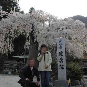延寿院の枝垂れ桜【アクセス・駐車場・御朱印】傷だらけの名桜