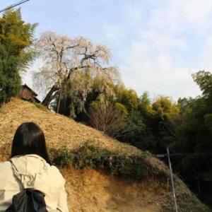 満願寺の八講桜【アクセス・駐車場】丘の上に佇む樹齢300年の名桜
